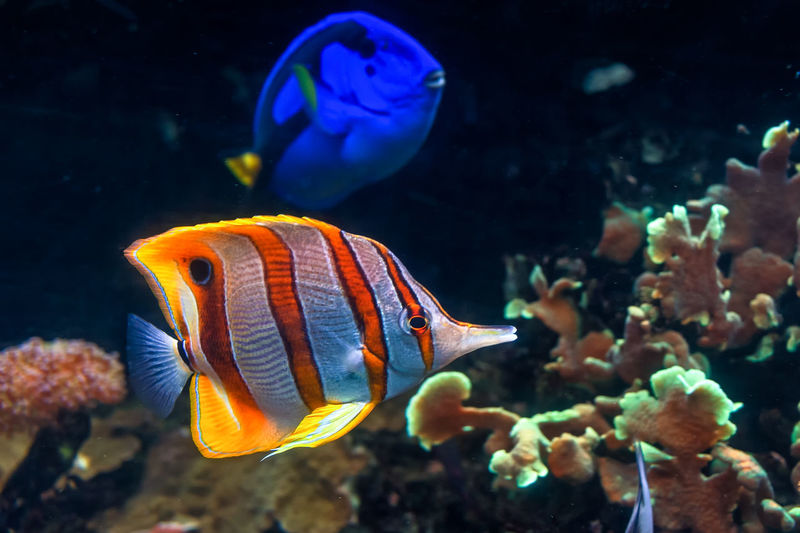 Copperband butterflyfish swim by the corals with a regal tang in the background.