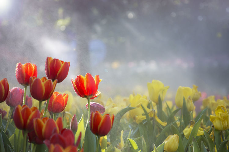 Blooming orange and yellow tulips garden with blurred yellow tulips background under sun flare in the mist Flowering Plant Beauty In Nature Plant Freshness Fragility Nature Petal Field No People Flower Head Inflorescence Flowerbed Growth Day Blooming Orange Yellow Garden Sun Flare Moist Wet Mist