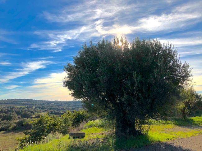 Olivo Aragón Plant Sky Cloud - Sky Tree Growth Beauty In Nature Nature No People Tranquility Outdoors Grass Environment Tranquil Scene