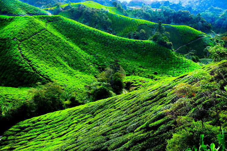 Boh Tea Plantation Tea Beauty In Nature Environment Foliage Green Color Growth High Angle View Idyllic Landscape Lush Foliage Malaysia Mountain Nature Plant Plantation Rolling Landscape Scenics - Nature Tea Crop Tea Plant Tea Plantation  Tea Plantations Tranquil Scene Tranquility Tree
