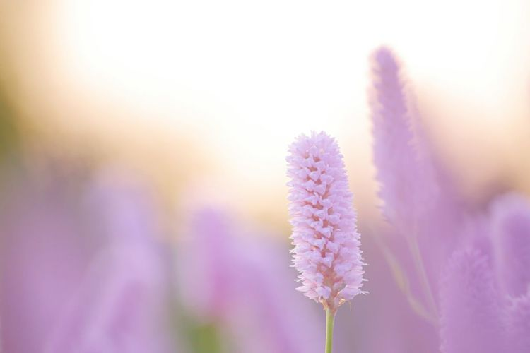 Flower Nature Beauty In Nature Purple Hokkaido Sapporo Autumn Pink Color EOS 6D