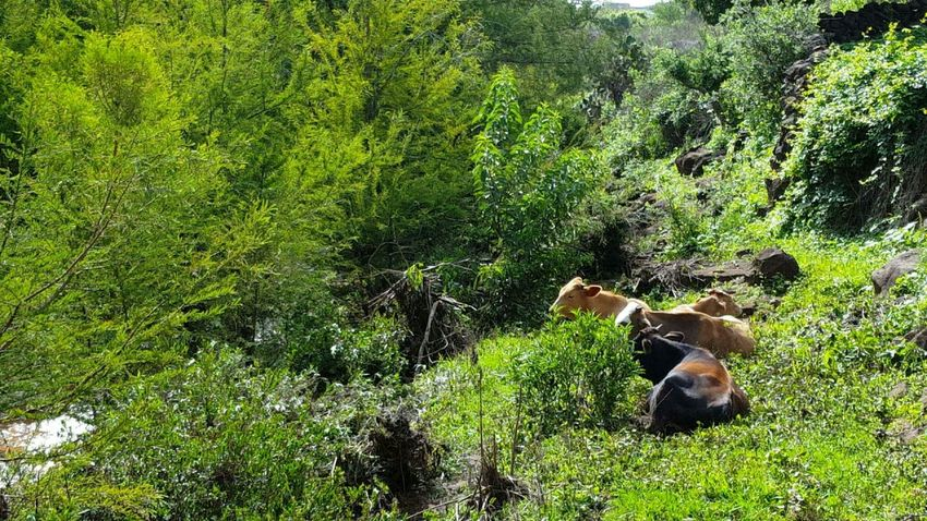 Animal Themes Nature Green Color Animals In The Wild No People Outdoors Grass Day Mammal Animal Wildlife Cattle Cows Natural Beauty Vacas Rancho Campo Ganado Jalisco