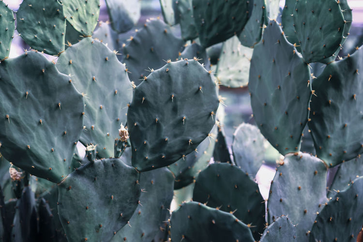Fresh natural succulent cactuses with spines closeup, exotic botanical background Plant Growth Green Color Beauty In Nature Nature Close-up Leaf No People Plant Part Freshness Outdoors Succulent Plant Cactus Prickly Pear Cactus Thorn Cactus Exotic Tropical Agave Aloe Desert Wild