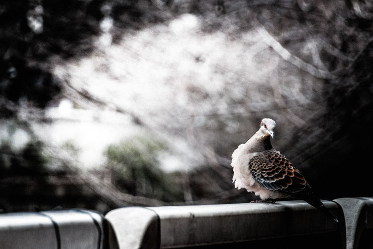 Oriental Turtle Dove Perching On Railing