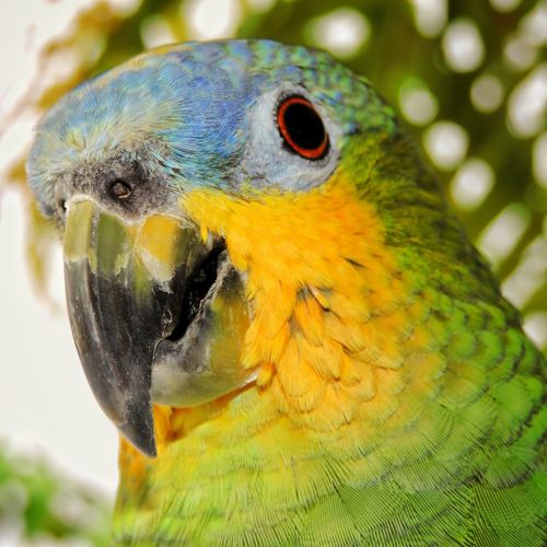 Parrot close-up Animal Body Part Animal Head  Avian Beauty In Nature Bird Bird Of Prey Bird Photography Birds_collection Close-up Color Colors Cute Exotic Flowers Fauna Fly Green No People Outdoors Parrot Pet Portrait Selective Focus Tropical Climate Vivid Wild