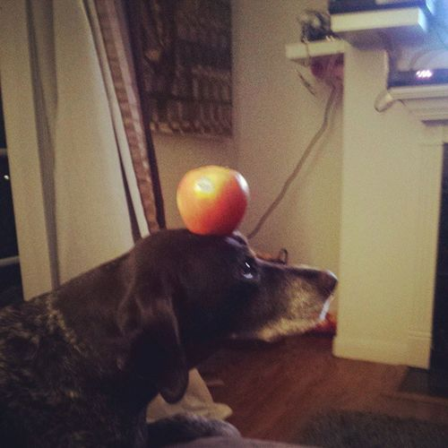 Learning a new trick Germanshorthairedpointer Mydogisamazing Olddogscanlearnnewtricks