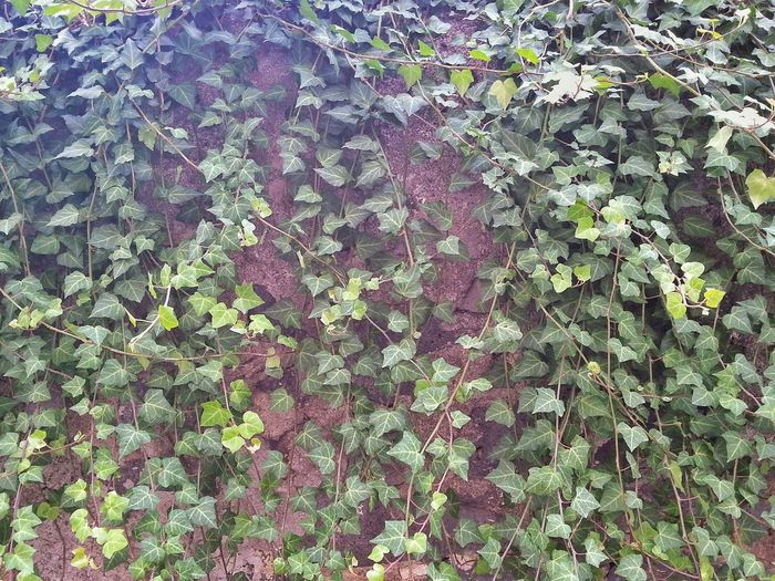 Leaves Plants Growing Into The Wall Plants Nature Wall Wallpaper Urban Nature Urban Landscape Green Leaves
