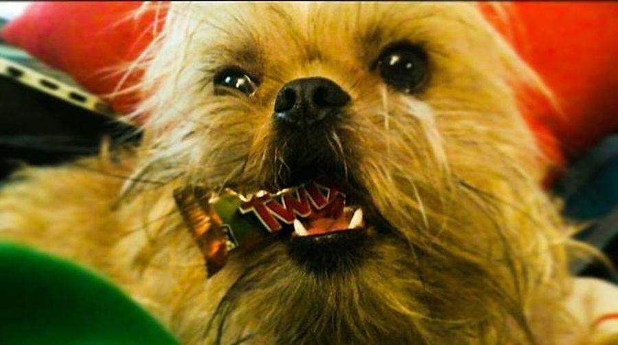 Чипсик украл со стола подарочные конфетки,и притаился на диване,смотря телек😂 Twix Brusselgriffon Griffon Lovemydog Thedog Candy Sweets MyCrazyDog Makaka Banana Ewok