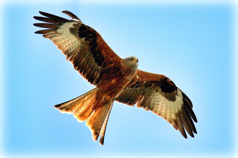 Ricky the Red Kite - one of me fav ourite bird chums showing off his beautiful colours and markings in the fresh morning sun. This bird probably has an almost 6 foot wing span...incredible species and always a joy to watch. Animal Themes Animal Wing Beautiful Nature Beauty In Nature Bird Bird Of Prey Bird Photography Blue Clear Sky Close-up Day Flying Focus On Foreground Low Angle View Mid-air Nature Nature Photography Nature_collection No People Outdoors Raptor Red Kite Sky Spread Wings Wildlife