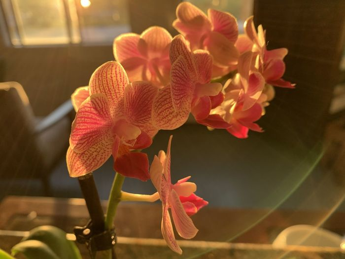 Close-up of pink orchid at home