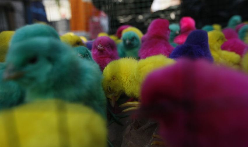 Colorful chickens in Indonesia. Selective Focus Yellow Close-up Day Multi Colored Art And Craft Representation No People Toy Retail  Celebration Market Choice Festival Outdoors Religion Belief Variation