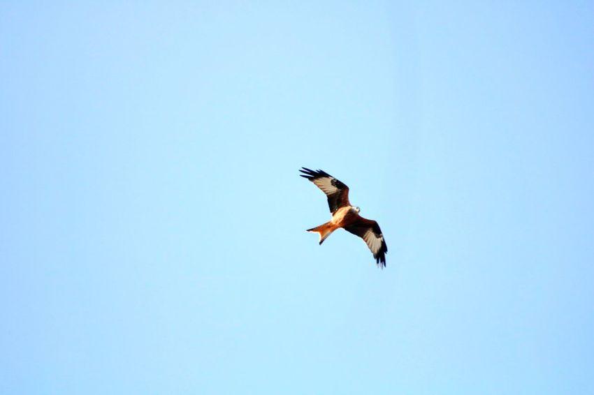 Rotmilan im Flug Rotmilan Autumn Germany🇩🇪 Bird Bird Of Prey Spread Wings Flying Clear Sky Vulture Full Length Blue Stork Sky Hawk - Bird Animal Wing Flapping