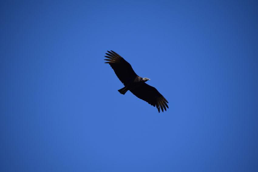 The black vulture (Coragyps atratus) Animals In The Wild Bald Eagle Bird Bird Of Prey Black Vulture Blue Clear Sky Coragyps Atratus Day Flying Mid-air No People One Animal Outdoors Sky Spread Wings