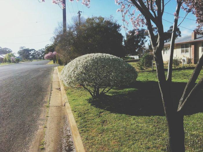 spring. prunous in full bloom. Streetphotography EyeEm Best Shots-Trees- TreePorn Enjoying Life Taking Photos