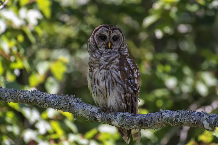 Barred Owl One