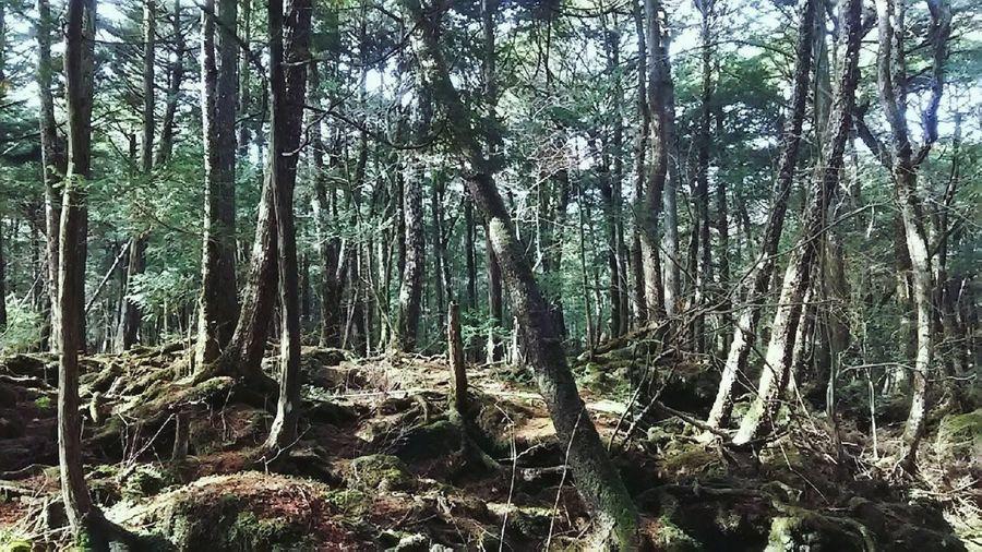 富士の樹海 Kaoriiiinya Aokigahara Aokigahara Forest Fuji At The Foot Of The Mountain Mountain Mountain Forest Mountain Fuji Tree Forest Tree Trunk Sky Woods WoodLand Mountain Road