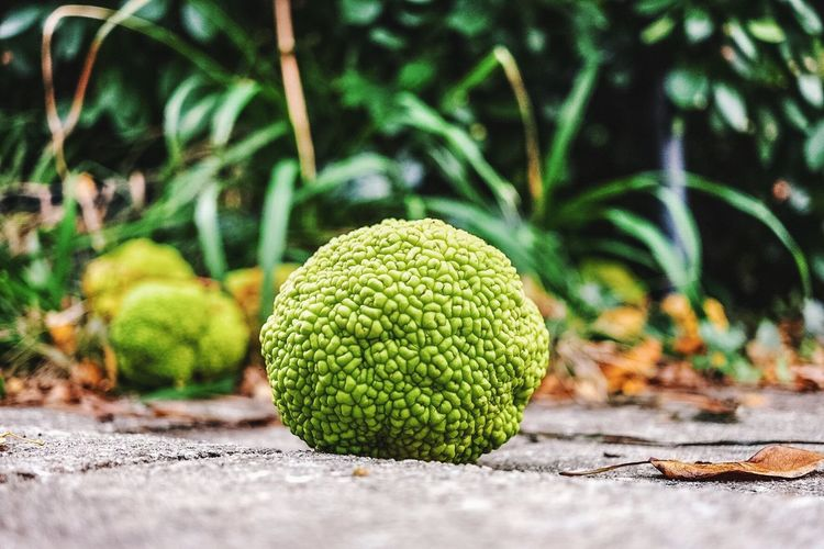 Beginnings Close-up Day Focus On Foreground Freshness Fruit Full Frame Green Green Color Growth No People Osage Orange Plant Ripe Sidewalk