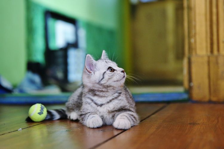 Kitten Sitting On Hardwood Floor