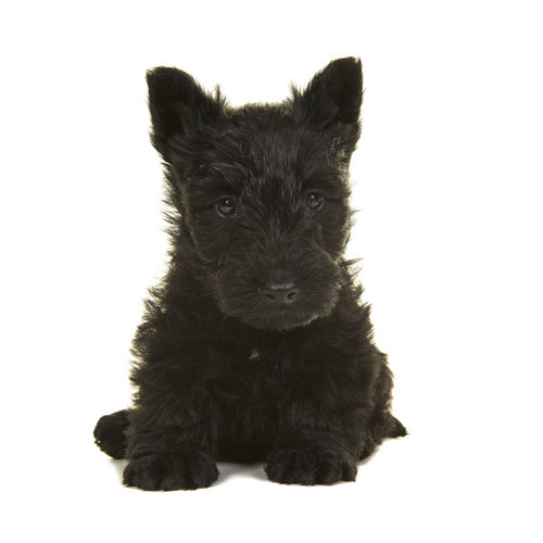 Cute black scottish terrier puppy sitting isolated on a white background Scottish Terrier Scottish Terrier Puppy Sitting Animal Themes Black Cute Puppy Dog Looking At Camera One Animal Pets Puppy Studio Shot White Background