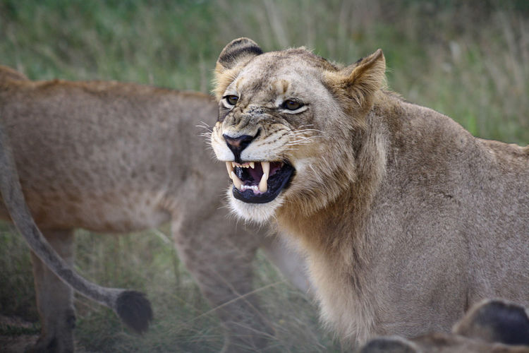 Portrait Of Lion Yawning