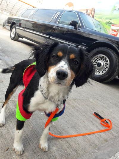 Portrait of dog by car