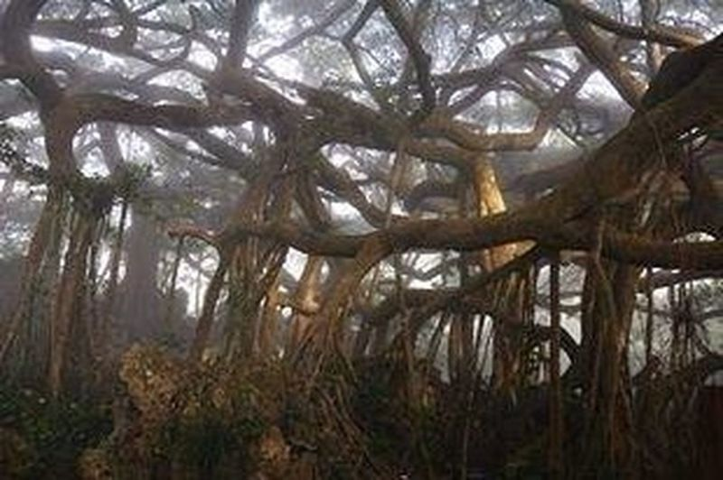 A huge banyan with large branches that from new roots, Taiwan!