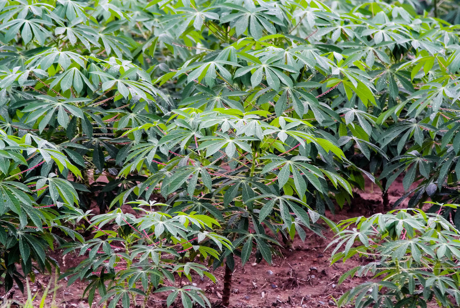 Cassava tree Farm Farmland Tree Agriculture Cassava Tree Corn Corn - Crop Crop  Day Farm Field Food Food And Drink Gardening Green Color Growth Land Leaf Nature No People Outdoors Plant Plant Part Plantation Tapioca Plant