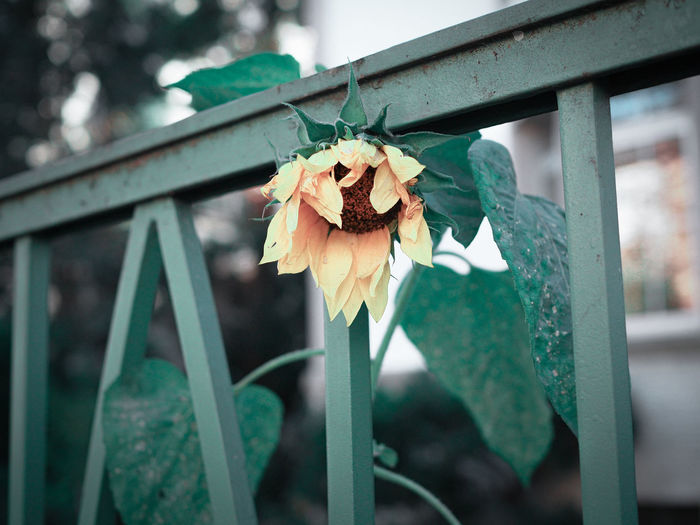 Close-up of sunflower by metallic gate