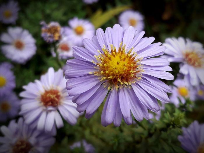 flower stars Aster Herbst Herbstaster Lilac Flower Flower Head Flower Eastern Purple Coneflower Petal Purple Coneflower Pink Color Close-up Plant Flowering Plant Blossom Plant Life Botany In Bloom Stamen Daisy Botanical Garden EyeEmNewHere Autumn Mood