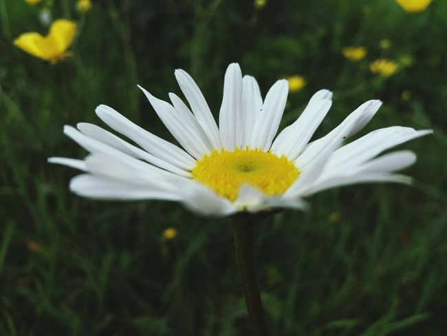 Large Daisy Nature Flower Petal Flower Head Plant Fragility Beauty In Nature White Color Close-up Freshness Uncultivated Pollen Growth Macro Outdoors Blossom Day Wildflower Springtime with