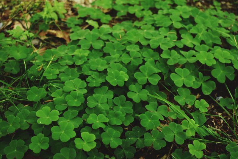 Do you need some luck to go? Nature Kleeblatt Leaf Clover Cloverleaf Luck Scenery Green Green Color Plant Part Leaf Growth Plant Clover Nature Beauty In Nature High Angle View Day No People Full Frame Field Focus On Foreground Close-up Outdoors Backgrounds Land Water Lush Foliage