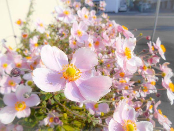 Japanese Anemone Anemone Japan EyeEm Flower Flowers EyeEmBestPics Flower Flowerporn Flower Photography Nature