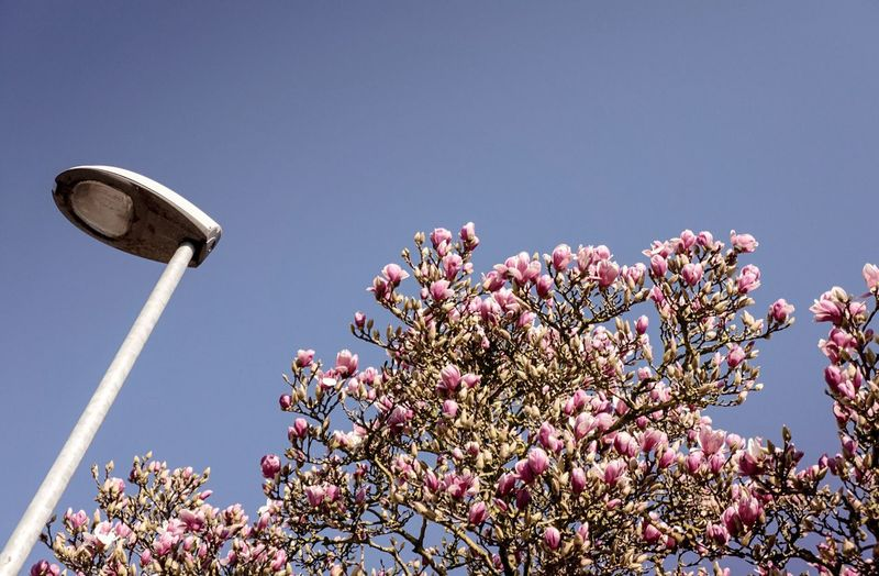 Low Angle View Of Street Light By Magnolia Tree Against Clear Sky