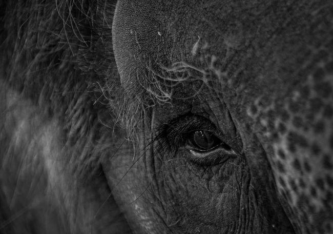 High as an elephant's eye Close-up One Animal Eye Mammal Animal Wildlife Elephant Sumatran Elephant No People Bali, Indonesia Bali Baliphotography Blackandwhite Black And White Black & White DSLR Dslrphotography DSLR Photography DSLRShot Pentax Pentax K-3