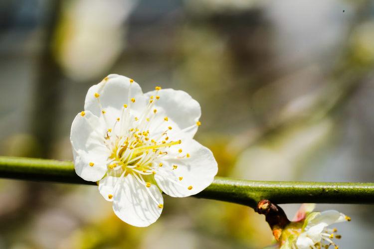 梅花 Flower Head