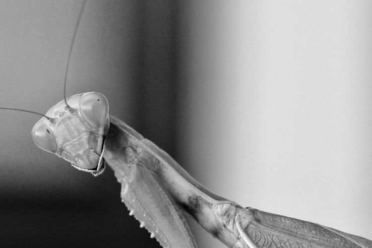Close-up portrait of praying mantis
