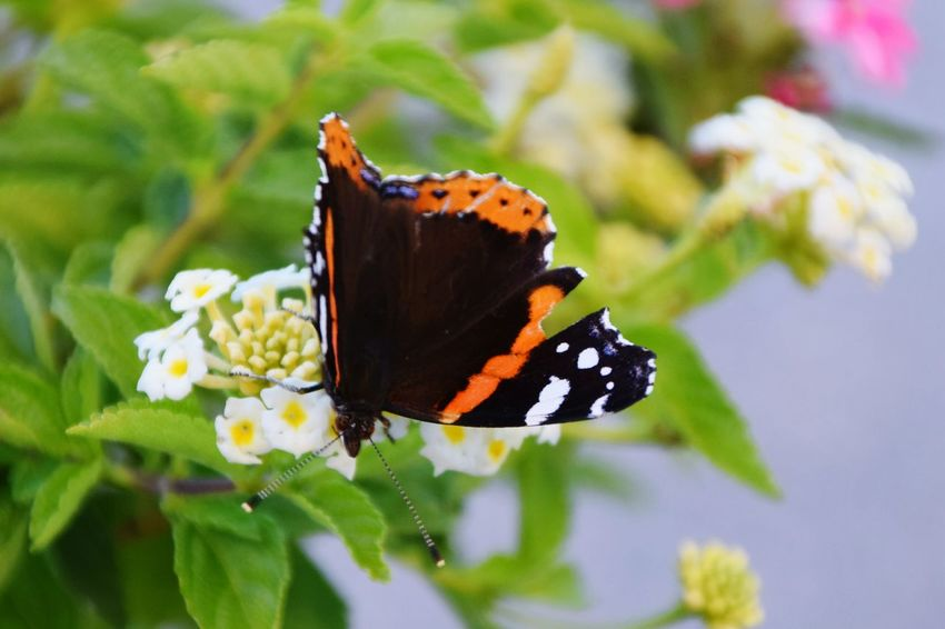Butterfly - Insect Insect One Animal Flower Close-up Plant Animals In The Wild Outdoors Animal Themes Day Nature No People Beauty In Nature Pollination