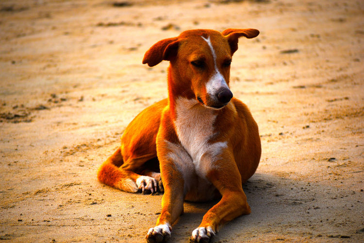 Dog Sitting Dogs Of EyeEm Evening Light EyeEm Best Shots EyeEm Gallery Getty Images Nature Trip Animal Dog Domestic Animals Fulllength Goa India Orange Color Soil White Color