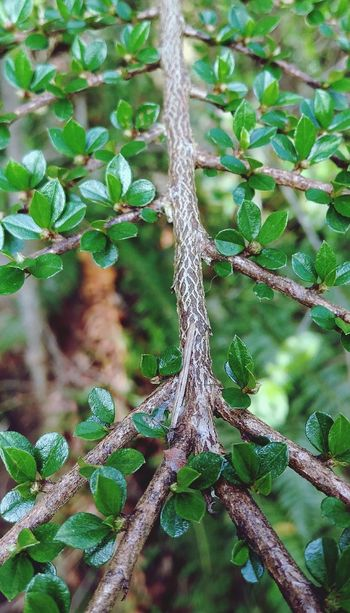 Tree Full Frame Nature Lines Cotoneaster Leaves Springtime Green