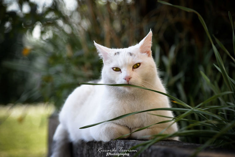 Soffice posing :3 Cat Pets Domestic Animal Themes Animal Mammal Domestic Cat Domestic Animals Feline One Animal Vertebrate Plant Grass Focus On Foreground White Color No People Nature Sitting Looking Portrait Whisker Purr Lovely Softness White Cat