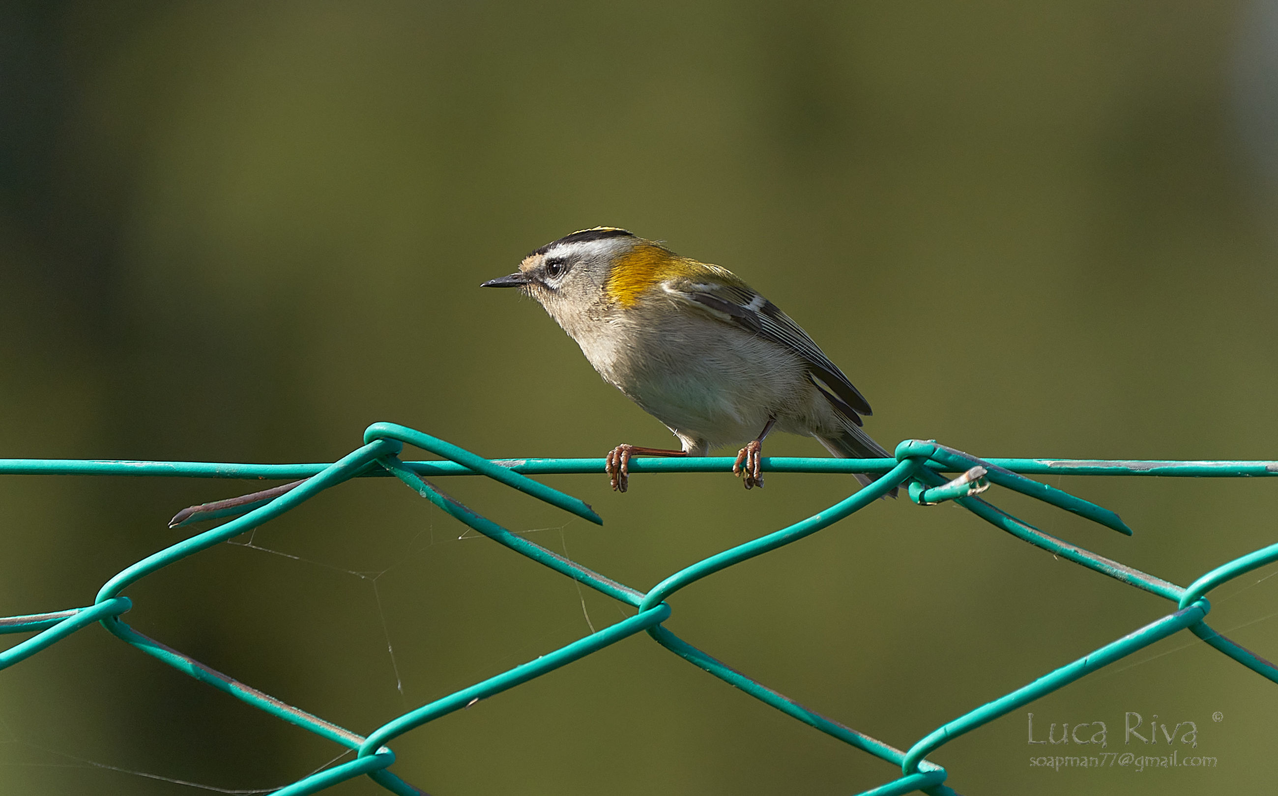 animal themes, bird, animal, animal wildlife, fence, one animal, wildlife, perching, beak, focus on foreground, branch, wire, nature, songbird, no people, chainlink fence, close-up, day, metal, outdoors, full length, protection, barbed wire, security