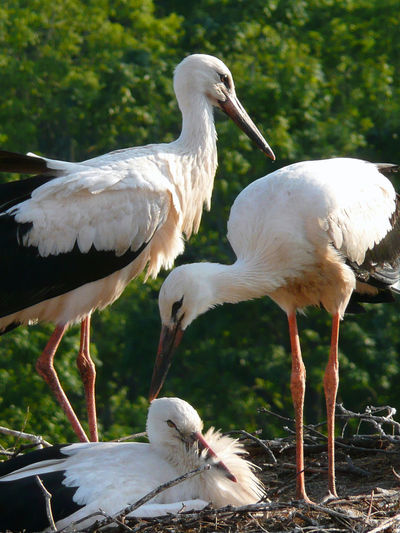 Stork Love Stork Family Storks Couple Latvija Latvia Storks Nest Stork Nest Chimney Storks Cesvaine Novads Cesvaines Pils Cesvaine Gulbitis Madona Love And Devotion Love Is In The Air