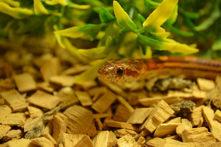 Close-up of corn snake on wooden pieces