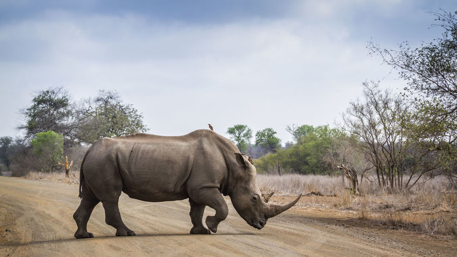 Side view of rhinoceros crossing road in forest