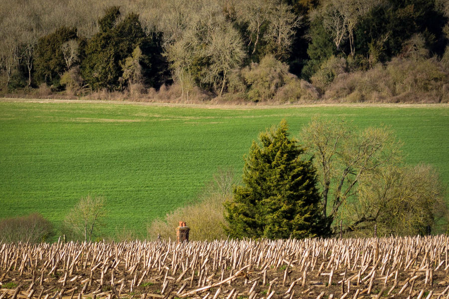 tree & chimney Agriculture Countryside Field Fields Landscape Landscape Photography Nature Rural Scene Tranquil Scene Tranquility Green Beauty Fresh Corn Dry Corn Countryside Life Countryside Uk Propotion Man Versus Nature