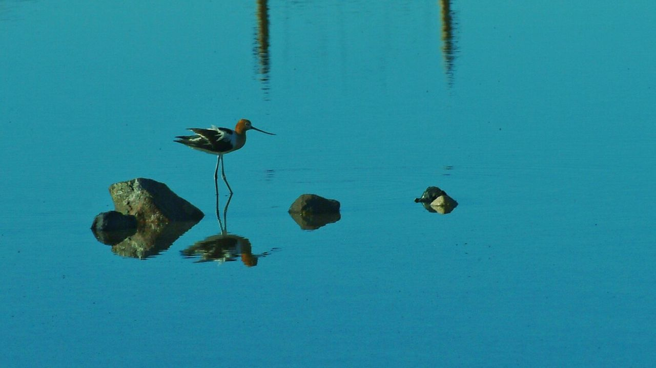 animal themes, animals in the wild, no people, bird, animal wildlife, day, water, outdoors, nature, blue, perching, close-up