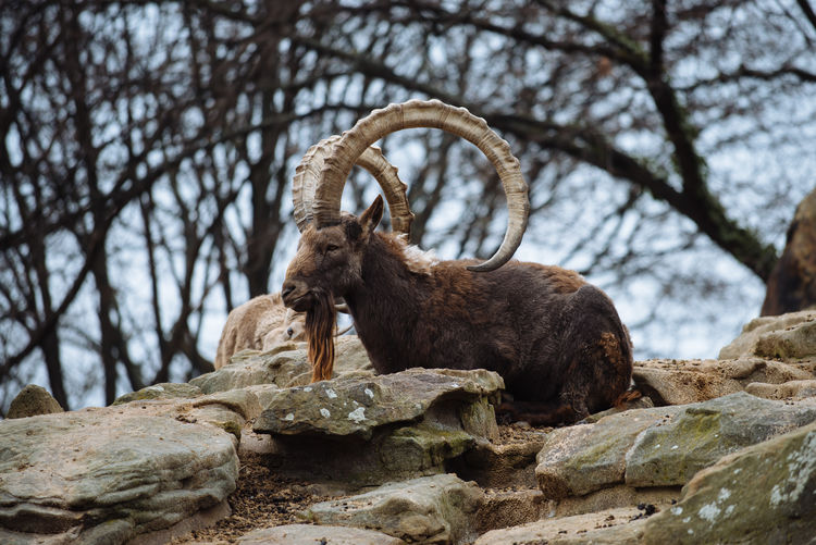 Side view of a horned animal against bare trees