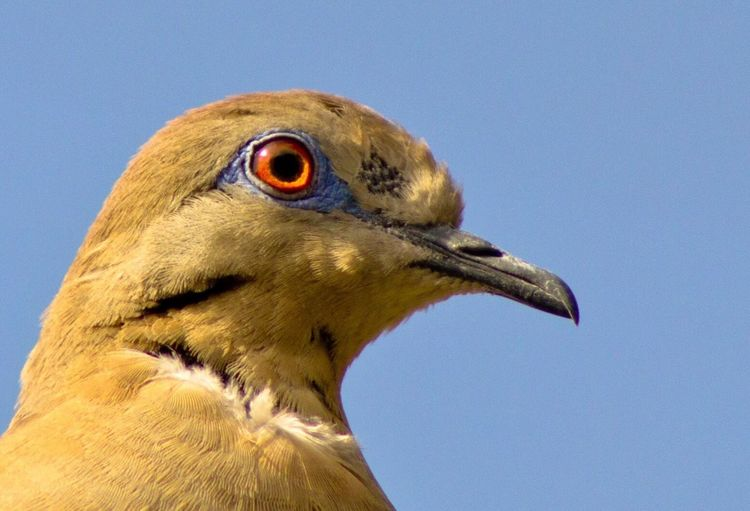 White Winged Dove Bird Bird Photography Birds Of EyeEm  Bird Watching Costa Rica