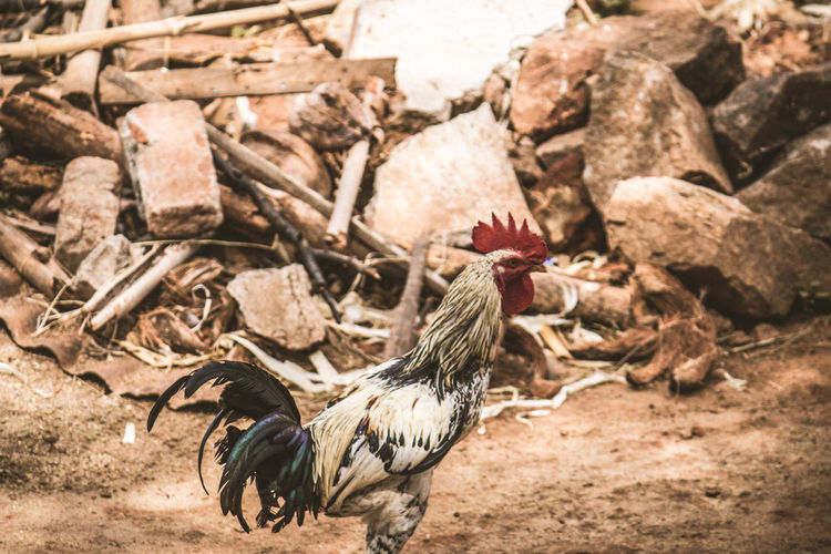 Chicken - Bird Outdoors No People Agriculture Rooster Day Rural Scene Close-up Animal Themes Nature Bird Canon700D Old-fashioned Stone Westernghats Dried Animal Wildlife Tamilnadu India Theni