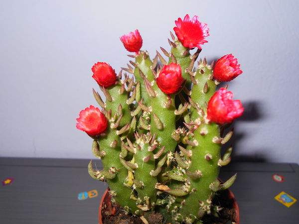 #cactus #cactus Flowers #nature_collection #EyeEmNaturelover #nature #red Flowers Close-up Flower Nature Red